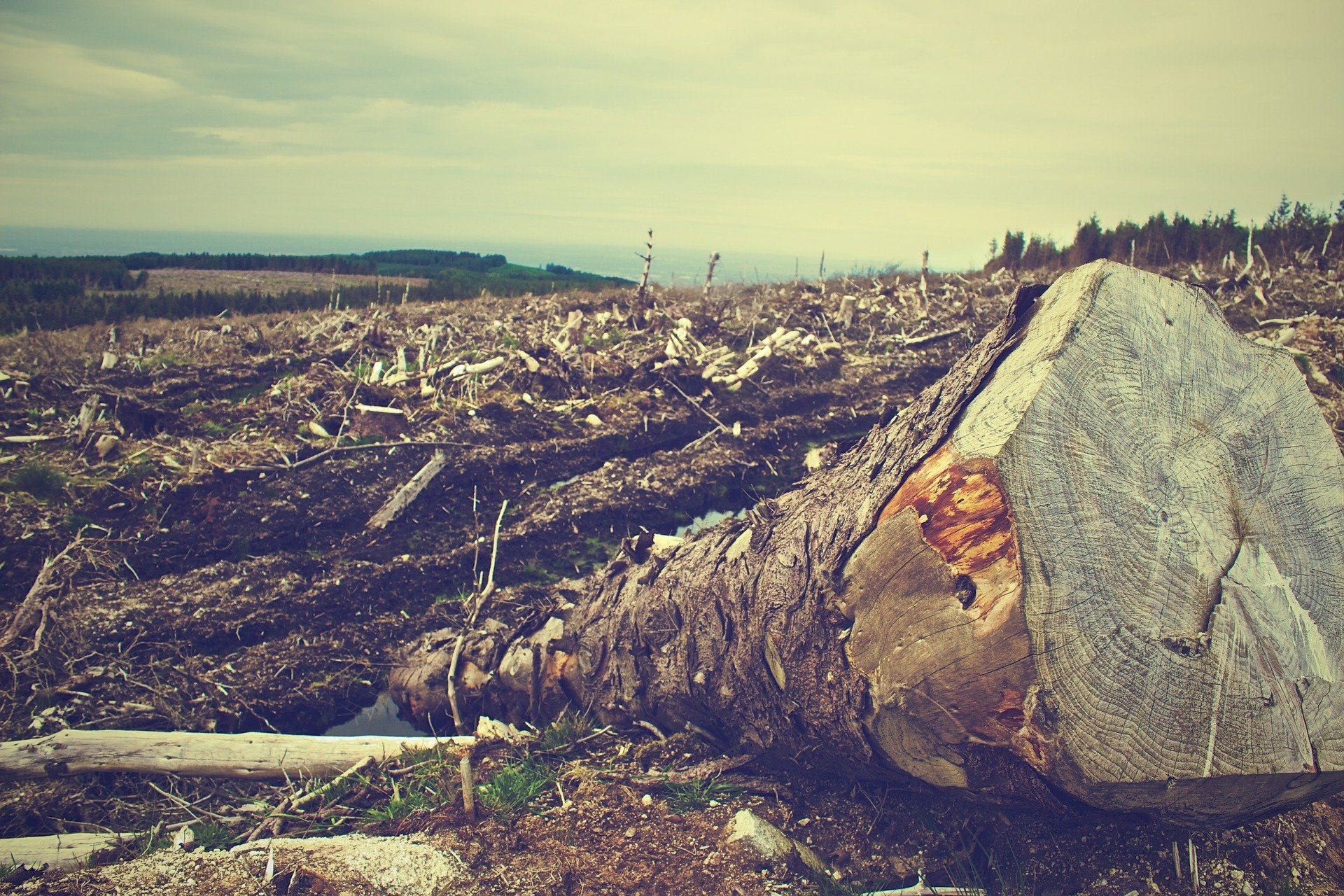 Cut down tree in deforested field