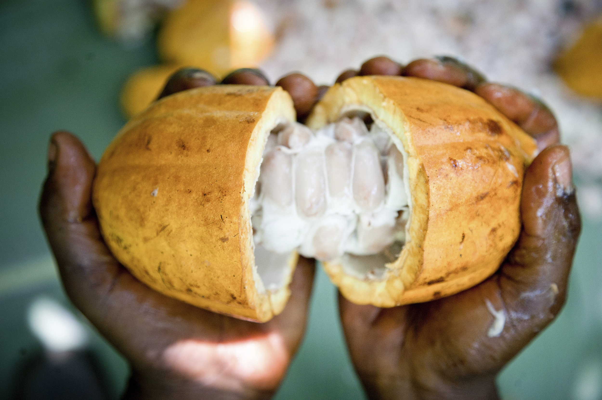 Hands holding cocoa fruit in close up