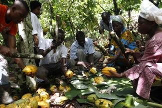 People holding cocoa fruits on the ground