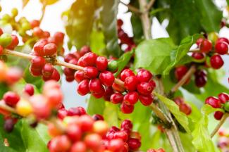 Coffee bush with red coffee fruit