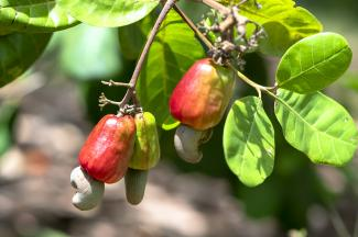 Cashew nuts in bush