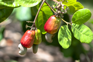 Cashew nuts hanging in the bush