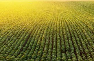 Soya bean field photographed from above