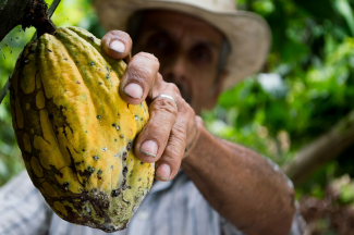 Cocoa farmer holding yellow cocoa fruit in hand