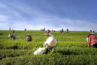 People working on tea plantation