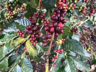 Coffee bush with ripe fruit